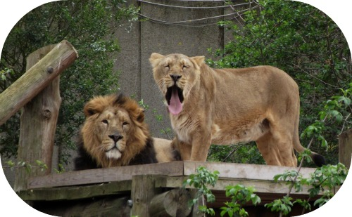 Lions at London Zoo