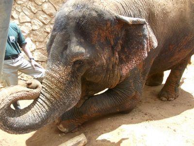 Asian Elephant Israel